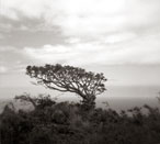 Is any Tree a Common Tree? - Silver Gelatin Photography by Gwen Arkin